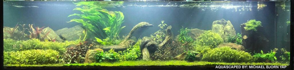 A Non-Traditional Dutch w Elements of Nature Style 200 Gallons Low-Tech Aquascaped by Michael Yap Philippines