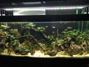 Biotope West African River B3 Class Anubias Aquascaped by Martin Ladioray Philippines