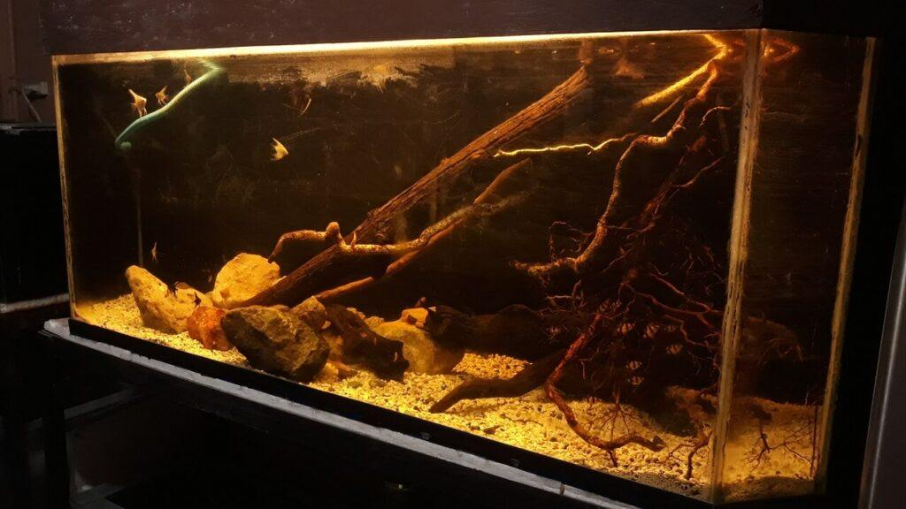 Blackwater Biotope B3 Class of Buhisan River, Cebu Angel Fish instead of Rainbow Fish Hardscapes came from the river itself Aquascaped by Fritz Rabaya Ph