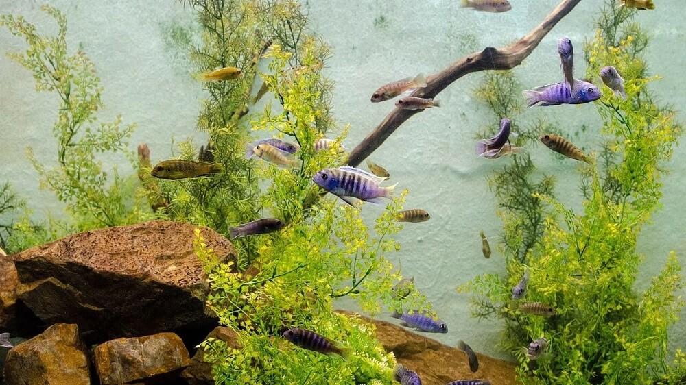 Cichlids Variety