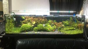 Dutch Style Aquascaped by Raymart Dennon Philippines