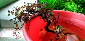 Experimented With Ludwigia Super Red Mini and Alternanthera Reineckii Mini - Tied Them to a Driftwood
