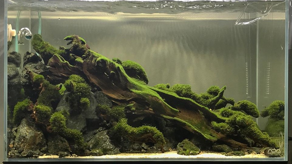 Fissidens Moss Grown Emersed Aquascaped by Charles Edward David