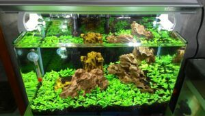 Iwagumi Style Staurogyne Repens as Carpet Aquascaped by Jo Harry Nuyles