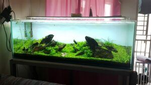 Iwagumi Style Dragon Stones Aquascaped by Jay-r Huelar Philippines