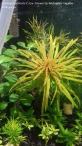 Ludwigia Inclinata Cuba Grown by Kristopher Gagarin Philippines