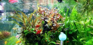 Ludwigia Super Red Mini and AR Mini Tied to Driftwood