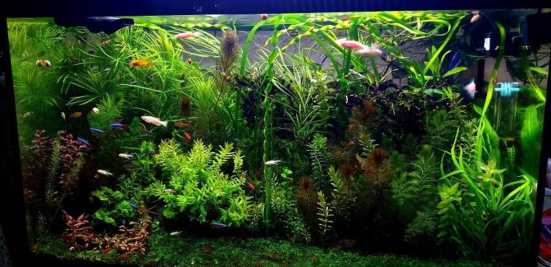 My Current 35 Gallons Planted Aquarium