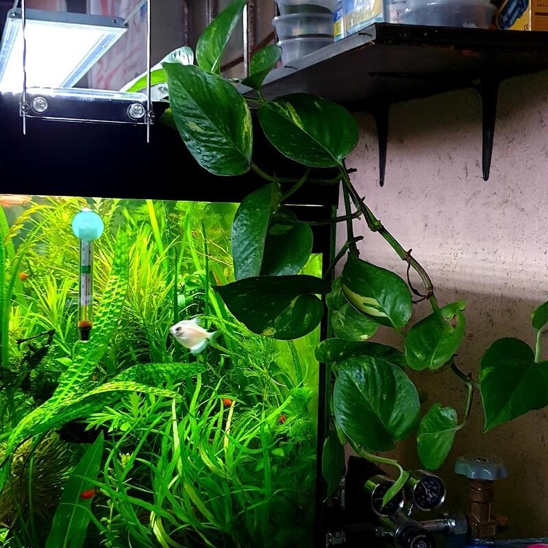 My Pothos Plant Epipremnum aureum