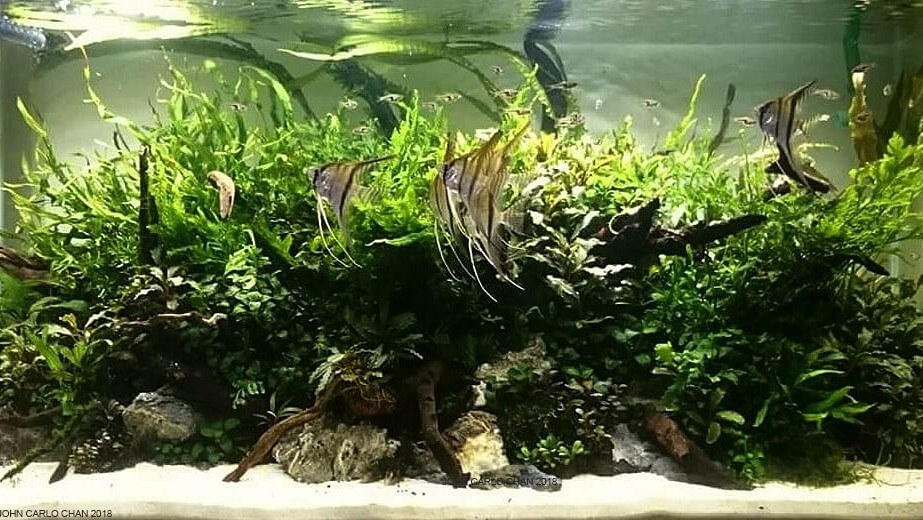 Nature Style Convex Layout 50 Gallons High-Tech Aquascaped by Carlo Chan Philippines
