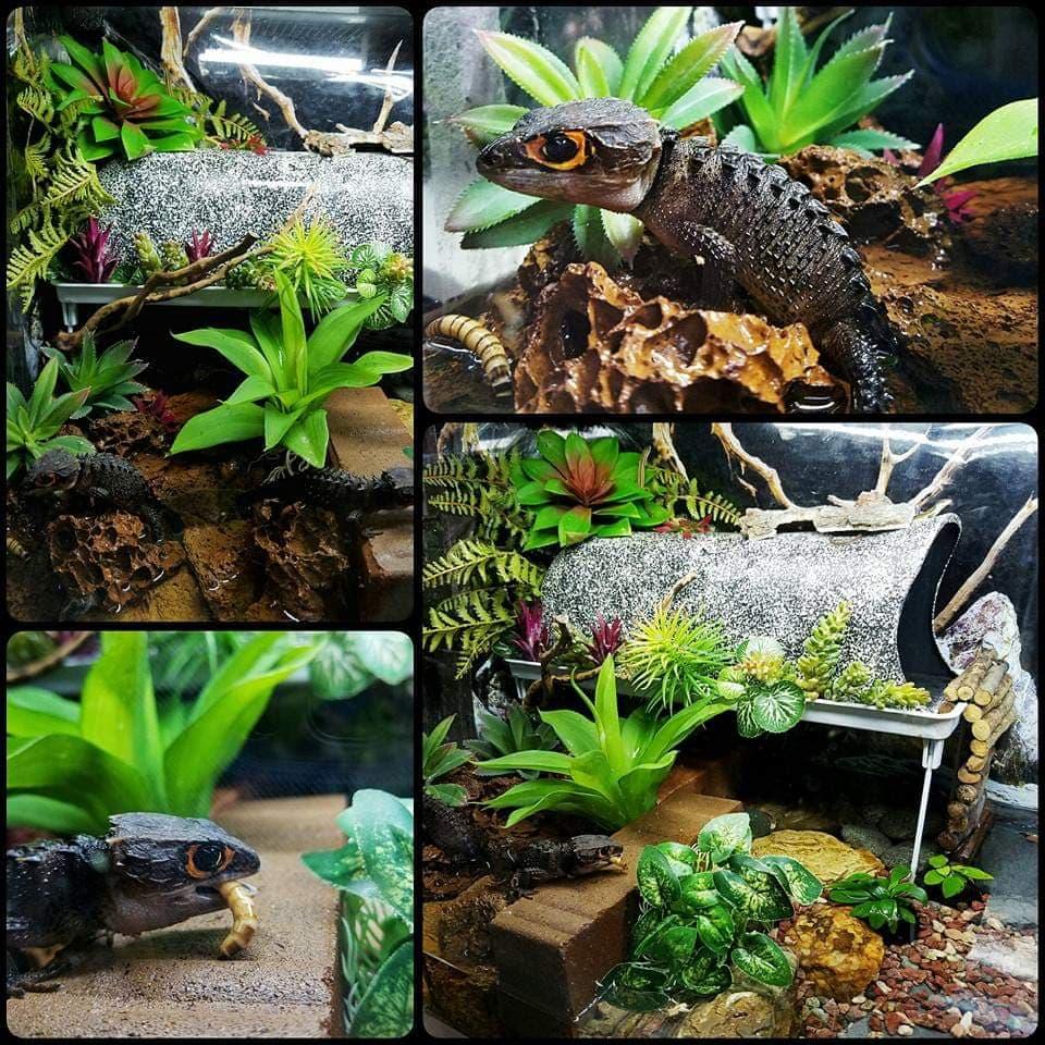 Paludarium with Red Eye Crocodile Skink by Yuno Cyan Philippines