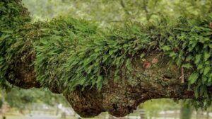 Resurrection Fern Epiphyte Plants