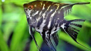 Angel Fish Stripe
