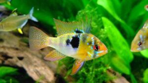Butterfly Cichlid