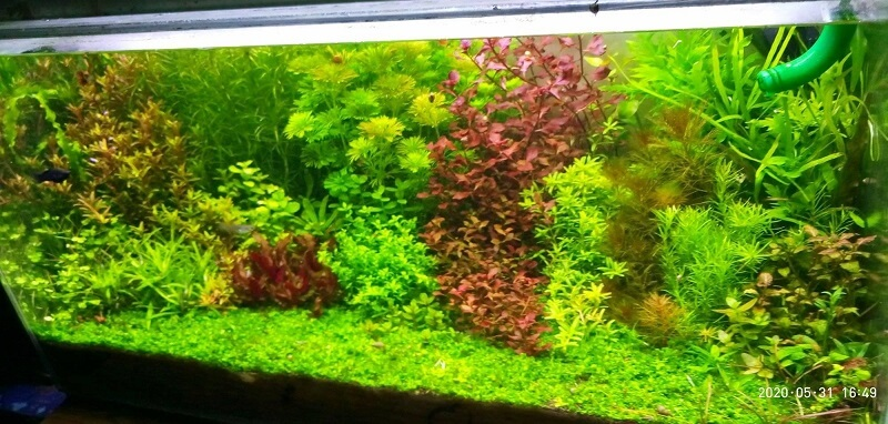 Dutch Style DIY Light No CO2 Dirtied and Using Banana Peel and Fish Gills as Fertilizer Aquascaped by Aristotle Acha Philippines