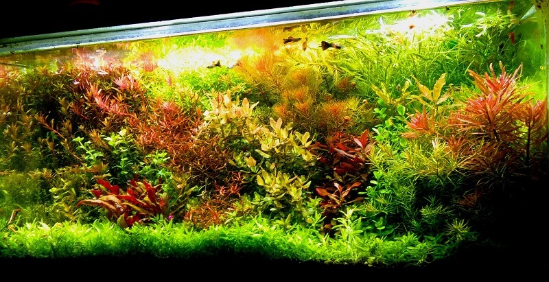 Dutch Style Using DIY CO2 only Aquascaped by Aristotle Acha Philippines