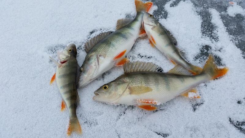 Ice Fishing Perch