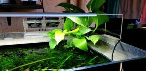 My Pothos Plant at the Top of my Tank with only the Roots Submerged