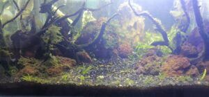 Nature Style After Water Change Aquascaped by Ken Santos Philippines