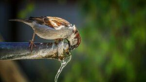 Sparrow Drinking in Faucet