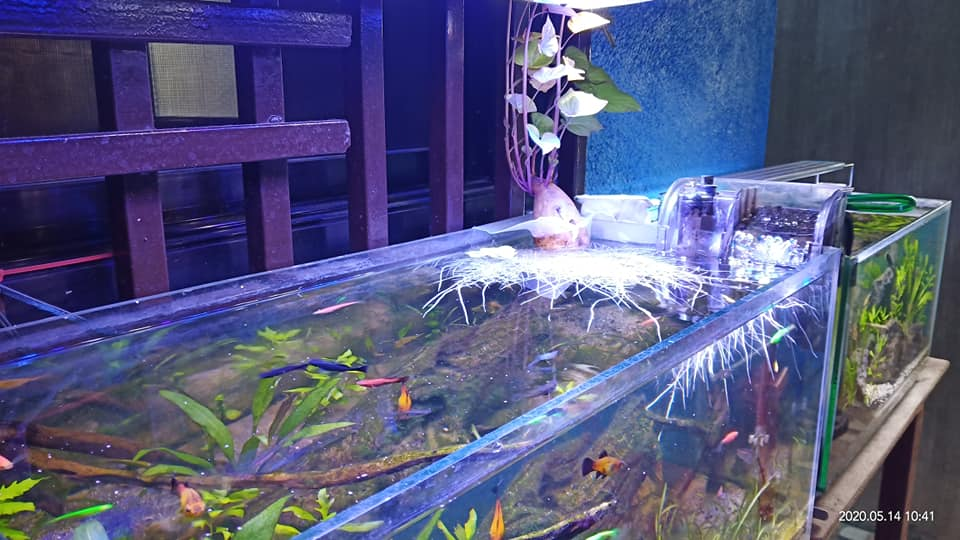 Using Sweet Potato to absorb excess Nitrates in His Tank by Herwin Alviz Laguindanum Philippines