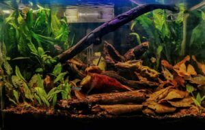 Using Talisay-Indian Almond Leaves Blackwater Tank Aquascaped by Lao Ricci Philippines