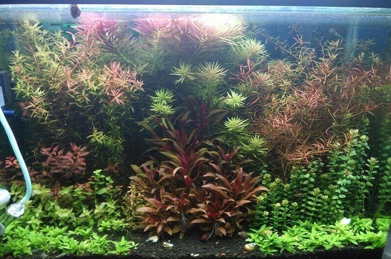 Dutch Style Heavily Planted Aquarium Aquascaped by AL M AR Philippines