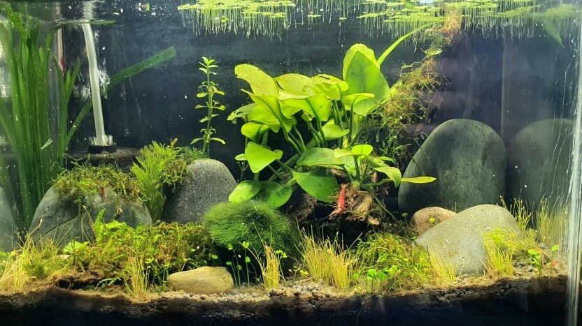 Using Stocked Tap Water 24-48 Hrs 2.5 Gallon Bloody Mary Shrimp Tank Aquascaped by Ian Paz Philippines