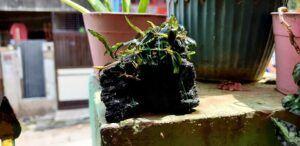 Assorted Bucephalandras Tied to a Black Lava Rock