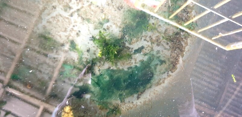 Collected Cyanobacteria Using a Toothbrush