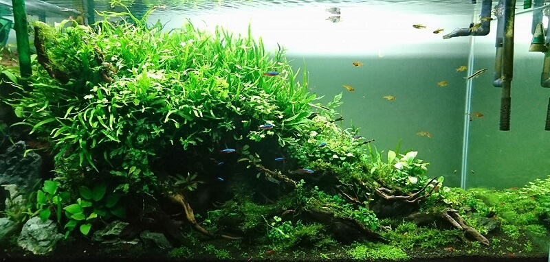 Nature Style Aquascaped by Carlo Chan Philippines