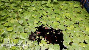 Amazon Frogbit Grown by Arnold Notzki Sagun Philippines
