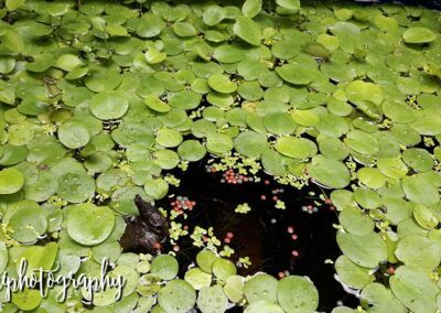 Amazon Frogbit Grown by Arnold Notzki Sagun Philippines