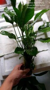 Anubias Heterophylla Grown by Hertz Ardina Philippines
