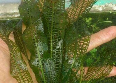 Aponogeton sp Grown by Julius Warren Teves Philippines