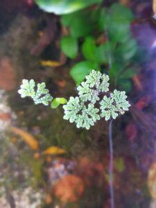 Azolla Caroliniana Grown by Terrence Guillermo Philippines