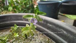 Bacopa Caroliniana Grown by Mo Aredal Philippines