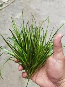 Blyxa Japonica Grown by Ayong Go Philippines
