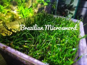 Brazilian Microsword Grown by Dah Real Philippines