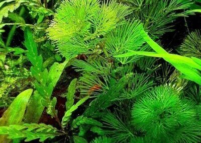 Cabomba Green