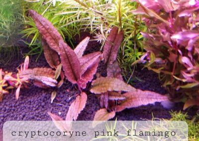Cryptocoryne Pink Flamingo Grown by Winston Sumogod Philippines