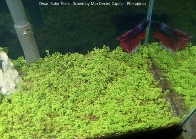 Dwarf Baby Tears Grown by Max Dexter Capino Philippines