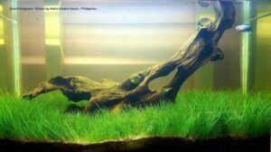 Dwarf Hairgrass Grown by Aldrin Solano Gacos Philippines