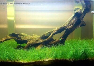 Dwarf Hairgrass Grown by Aldrin Solano Gacos Philippines