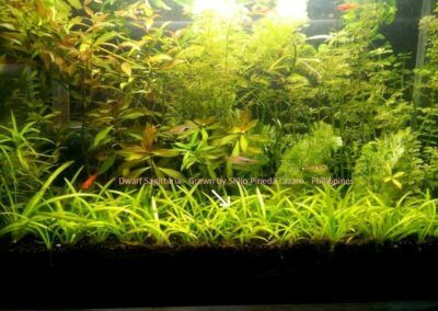 Dwarf Sagittaria Grown by Shijo Pineda Lazaro Philippines