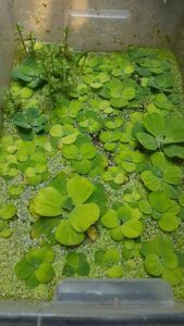 Dwarf Water Lettuce Grown by Alain Denco Invierno Philippines