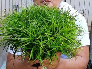 Eriocaulon Vietnam Grown by Omar Krishnan Afuang Philippines