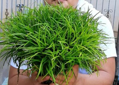 Eriocaulon Vietnam Grown by Omar Krishnan Afuang Philippines