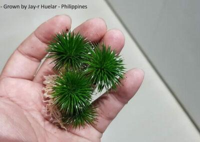 Eriocaulon sp Grown by Jay-r Huelar Philippines