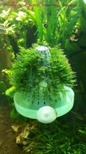 Fissidens Grown by Aldrin Solano Gacos Philippines
